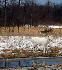 lessons in camouflage (Abizeleth) Tags: trees winter brown white snow reflection water rural outdoors weeds wildlife deer mammals abandonned whitetaileddeer odocoileusvirginianus whitedeer senecaarmydepot romulusny