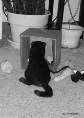 Getting all the toys out (Nya Photography) Tags: playing cat kitten fluffy siamese