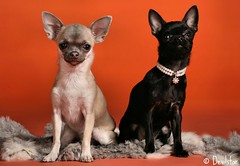 Kessu & Boona (Devilstar) Tags: two black dogs studio sitting dream chihuahuas pearl shah stuudio koer alens koerad arpilin essenija