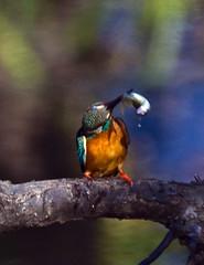 Spear fishing No.4 (aeschylus18917) Tags: park trees bird nature grass birds japan tokyo fishing nikon feeding eating wildlife sashimi feathers kingfisher   koen nerima pxt  80400mm nerimaku commonkingfisher alcedoatthis alcedoathis 80400mmf4556dvr  shakuji shakujikoen  pxi    d700 80400mmf4556vr  shakujipark  nikond700 slbfeeding danielruyle aeschylus18917 danruyle druyle enjoyingautumn