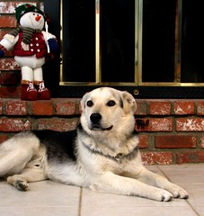 German Shepherd (Rennett Stowe) Tags: dog pet white dogs beautiful snowman fireplace shepherd perro hund german familydog paws browneyes germanshepherd alsatian winterdog watchdog guarddog shepherdmix petdog familypet dogpaws sweetdog prettydog usedbrick holidaydog christmasdog brickfireplace deutscherschferhund germandog lovingdog nicedog petanimal relaxingdog germanshepherdpet malegermanshepherd lovingpet whiteandblackdog brickledge snowmandog beautifulgermanshepherd petgermanshepherd prettygermanshepherd dogfireplace shepharddog lovinggermanshepherd buildingafireplace usedbrickfireplace americanpets holidaygermanshepherd fireplacedog colorsofgermanshepherds dogwithasnowman fireplacestyles christmasgermanshepherd