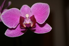 Orchidea (RaSeLaSeD - Il Pinguino) Tags: orchid flower violet fiori orchidea catchycolorsviolet