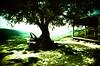 Olive Tree Cap