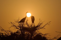 Holding Back The Sun (burt1barnett) Tags: bird heron birds silhouette wako greatblueheron shiningstar wetland aclass wakodahatchee creativephoto abigfave flickrheart platinumphoto anawesomeshot wowiekazowie citrit sfwetlands heartawards platinumheartaward excapture betterthangood theperfectphotographer whatawonerfulworld