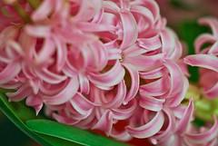 Hyacinthus flower (Airla) Tags: pink flower macro spring hyacinthus