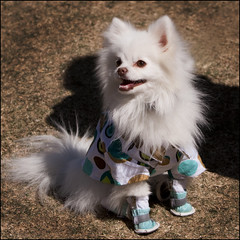 Pet-a-Palooza (Domain Barnyard) Tags: vegas portrait pet white cute animal eos poser costume friend shoes lasvegas nevada adorable cutie best clothes event mans tiny fancy april doggy pomeranian 2009 dressed f50 notmydog 70mm tingey 941 domainbarnyard petapalooza canoneos40d mix941