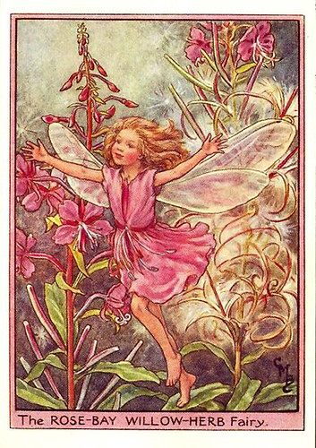 016-rose-bay_willow-herb_flower_fairy