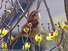 Carolina Wren (DebDubya) Tags: flowers nature birds fauna spring flora wildlife dogwood avian carolinawren songbirds aclass floweringtrees wildbirds panasonicdmcfz10 dogwoodblossoms flickrbronzeaward birdsarebeautiful birdinginthewild earthanditsincredibleanimals vosplusbellesphotos deborahwillard deborahdesigns birdsofnorthcarolina debdubya deborahwillarddesigncom northcarolinabirds goldenpinnaclegroup