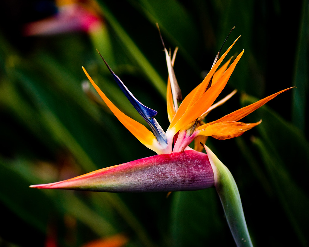 Bird of Paradise (1 of 1)
