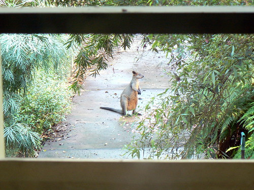 Swamp wallaby: Wallabia bicolor