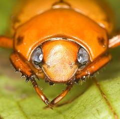 Big-eyed coleoptera