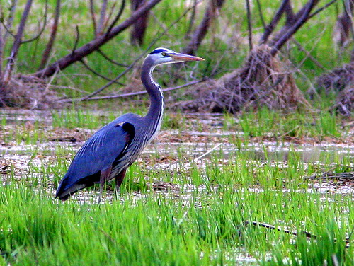 Great Blue Heron 20090427