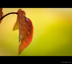 Red leaf (Bogdan Suditu) Tags: green leaf flickr bokeh tamron 70200 f28 50d platinumphoto tamronspaf70200mmf28dildifmacro themacrogroup theperfectphotographer