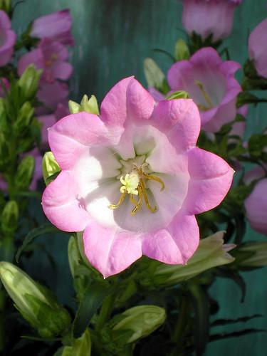 Pink Bellflower (2)
