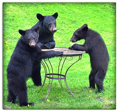 Mother's Day Bear Picnic! (pinecreekartist) Tags: friends bears brava chiaramonte kartpostal pagrandcanyon wellsboropa anawesomeshot yourbestshot platinumheartaward thesuperbmasterpiece thecelebrationoflife hairygitselite flickraward pinecreekartist tiogacountypachiaramonte