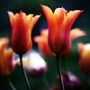 tulips (mitumo) Tags: aplusphoto superhearts