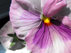 PENSEE (rockpainting ☼ yvette) Tags: macro fleur mauve yvette pensée awesomeblossoms fujifilmfinepixs1000fd vosplusbellesphotos macrorockpainting