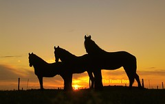 Horses , three of a kind (The Family Dog) Tags: sunset horses horse netherlands silhouette fries paard paarden galope friese bestcapturesaoi