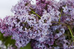 Last of the Lilacs