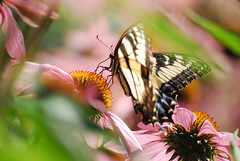 Butterfly and Echinacea (ShoeDoggy) Tags: butterfly echinacea