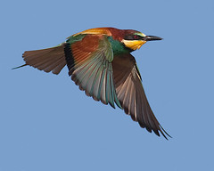 Abelharuco / Bee-eater (Antnio Guerra) Tags: nature birds wildlife natureza birdsinportugal avesemportugal aves birdwatching beeeater meropsapiaster vidaselvagem supershot specanimal mywinners specanimalphotooftheday avianexcellence vosplusbellesphotos distinguishedbirds platinumpeaceaward