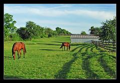 Evening in the pasture (sjb4photos) Tags: horses green michigan pasture vosplusbellesphotos vosplusbellephotos bridgewatermichigan
