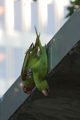 parrot love (the HPB) Tags: sanfrancisco ca wild parrot embarcadero mating conure redheadedconuer