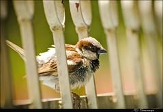 just after bath...... ($owmya) Tags: family light sunlight india birds canon garden backyard natural bangalore naturallight sparrow karnataka sow sowmya gubbi nelamangala 400d canon400d 70300sigma owmya compoundbars