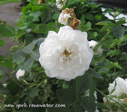 Scotch Rose