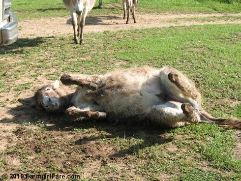 Donkey Rolls 1