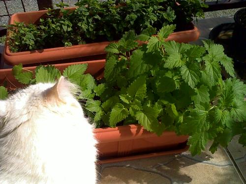 Resultado de imagem para como plantar a erva do gato