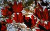 Maple red backlight - Acero rosso controluce (Robyn Hooz) Tags: red italy primavera foglie canon leaf spring maple italia sigma os foglia padova acero rossa 18125 hsm mywinners 1000d