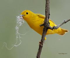 Nesting Time For The Yellow Warbler! (JRIDLEY1) Tags: bird yellow michigan nesting yellowwarbler specanimal brightonmichigan nikond3 jridley1 jimridley httpjimridleyzenfoliocom photocontesttnc10 jimridleyphotography photocontesttnc11 photocontesttnc12 photocontesttnc13