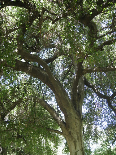 coast live oak tree