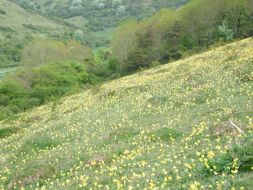 Cowslips (2)