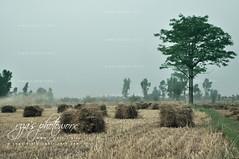 Wheat Bales (RzzA) Tags: pakistan field nikon village wheat crop cutting grains punjab bales reza lahore thrasher d90 rzza wwwstudiorbiz qasoor
