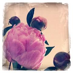 Peony (davidcoxon) Tags: pink flower peony heartsaward platinumheartaward hipstamatic