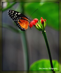Monarch Descending from Alfred the Great (Don Iannone) Tags: ohio flower nature butterfly garden insect nikon peace soe visualart macrophoto naturesfinest butterflypla