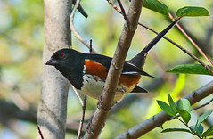 Eastern Towhee (Pipilo erythrophthalmus) (Larry Meade) Tags: male birds virginia april easterntowhee pipiloerythrophthalmus potomacoverlook thewonderfulworldofbirds birdstnc09