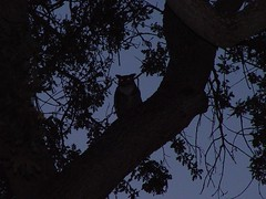 Who Who Is Down There? (Pat's Pics36) Tags: wild bird silhouette eyes owl greathornedowl sonydscf707 potofgold thousandtrails