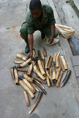 Ivory confiscated today in the Okapi Reserve