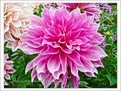 Dahlia flowers after effect,   ({ahradwani.com} Hawee Ta3kees- ) Tags: trip travel pink dahlia flowers vacation paris france green photoshop europe close sony ali explore hassan luxembourg 2008  t100   explored    explore09  dsct100 macroflowerlovers paris2008 hawee  explore2009 explorefebruary09 haweeta3kees   ta3kees pariswithsonyt100 ahradwanicom ahradwani