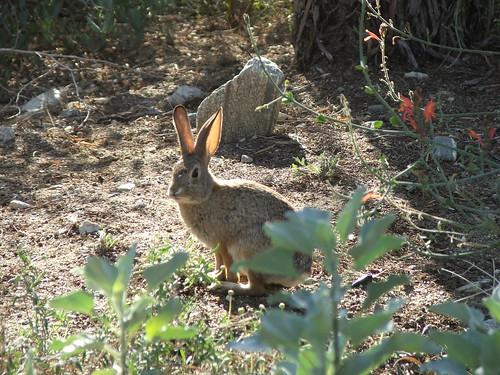 wild desert rabbit