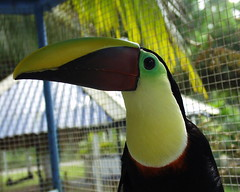 Swainsons Toucan (Dave Womach) Tags: costa bird toucan rica exotic tucan swainsons swainson twocan