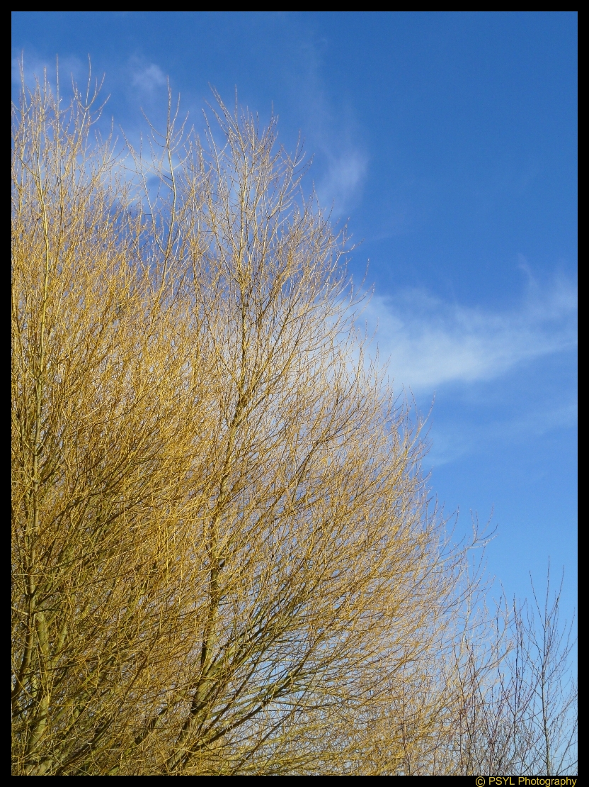 Yellow Branches Against Blue Sky and White Clouds