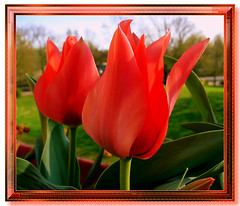 Happy Easter/Frohe Ostern (elbfoto) Tags: red orange rot nature easter natur tulip ostern tulpen vosplusbellesphotos