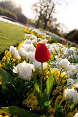 Hyde Park Tulip