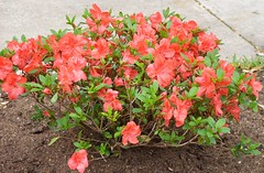 Azalea amaghasa -- one of three planted in this new bed under deciduous trees (pawightm (Patricia)) Tags: orange austin backyard texas evergreen azalea satsuki backyardgarden backyardborder azaleaamaghasa pawightm