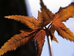 Light&Dark (olvwu | ) Tags: light red green leaf spring maple bokeh taiwan acer taipei backlit bud yangmingshan taipeicity 1260 newleaf jungpangwu oliverwu oliverjpwu olvwu jungpang