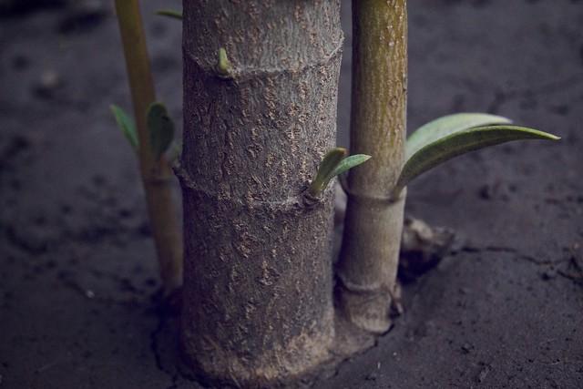 stabljika